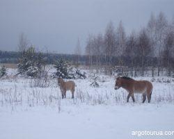 Wild Przewalski's Horse at Exclusion Zone